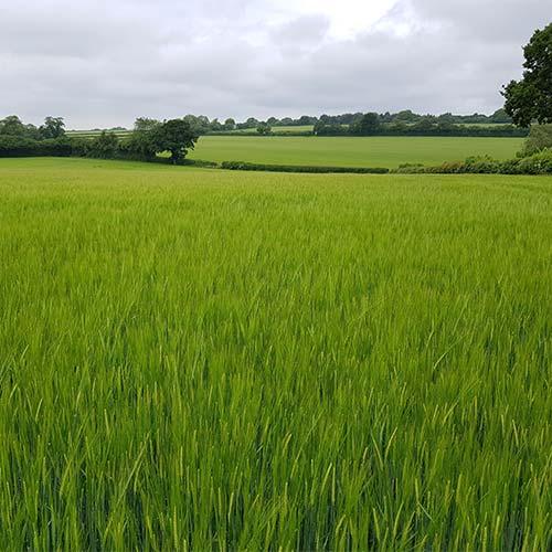 VOS-Testimonial_LeighDonger_barley